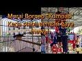 Murai Batu Borneo Kumpau Bjb Team Berau  Mp3 - Mp4 Download
