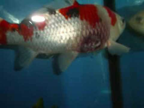 Koi fish with disease youtube for Fish diseases pictures