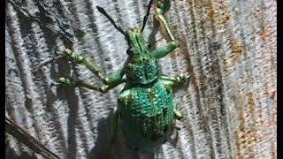 Gambar cover Lamprocyphus augustus, Coleoptera: Curculionidae