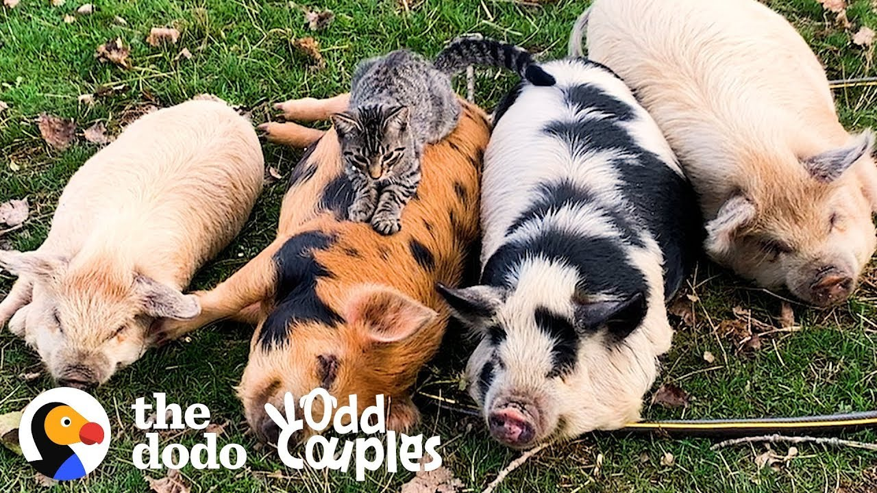 Animal Odd Couples Youtube cat loves giving pigs massages | the dodo odd couples