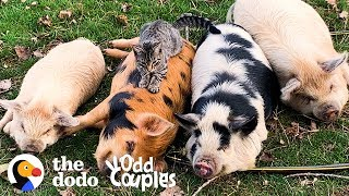 Cat Loves Giving Pigs Massages | The Dodo Odd Couples