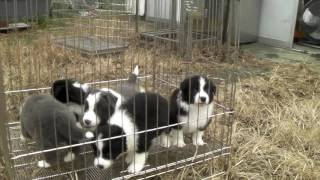 8月22日に生まれたボーダーコリーの子犬達です。5頭全てが男の子です。