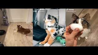 Why The Aussie Dog Is The Best Dog, Change My Mind.....TIKTOK