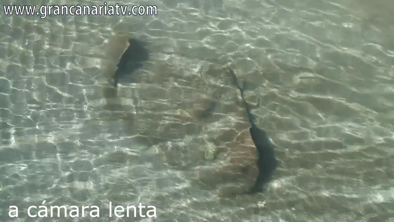 39 chuchos 39 en la playa de melenara pez raya o manta youtube - Gran canaria tv com ...