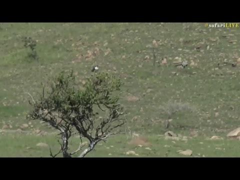 safariLIVE - Sunrise Safari - Nov. 1, 2017