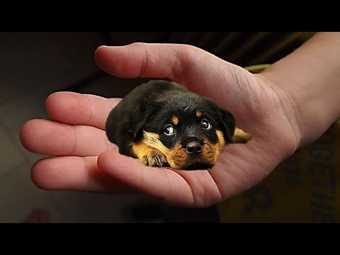 World's Smallest Dog 2012 - Milly The Chihuahua | Doovi