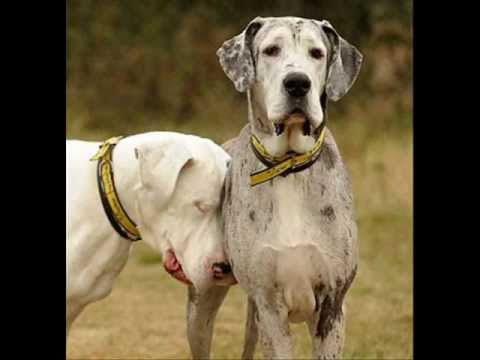 lily and maddison great danes video