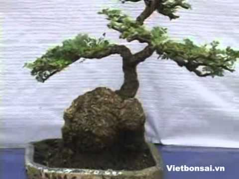 Lễ hội cây cảnh nghệ thuật Yên Tử . Vietbonsai.vn  -  p2