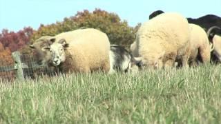 Des moutons roués de coups pour de la laine