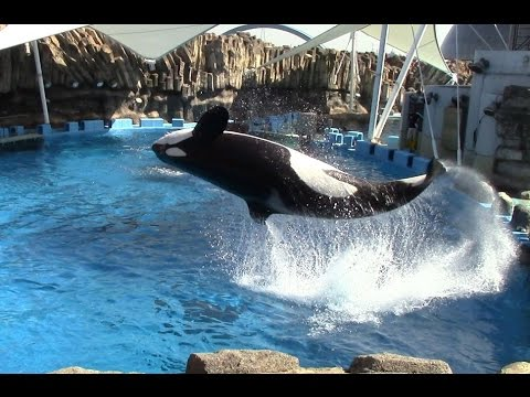 Killer Whales Jumping and Lobtailing at Port of Nagoya Public Aquarium 名古屋港水族館 シャチのファミリー
