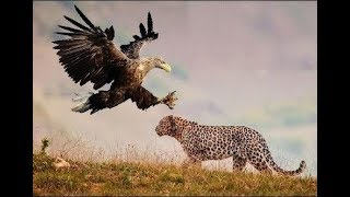 Leopard vs Eagle real Fight To Death - Wild Animals Attack
