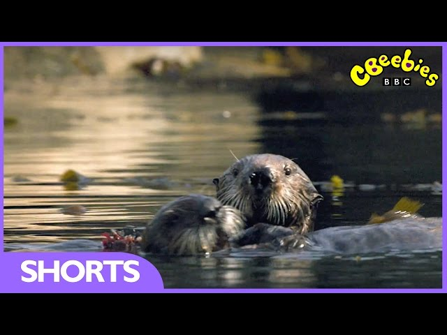CBeebies | Andy's Baby Animals | Baby Otter has his breakfast