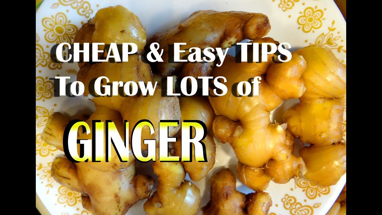 how to grow ginger youtube