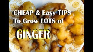 How to Grow GINGER Easy in Containers & Harvest TONS