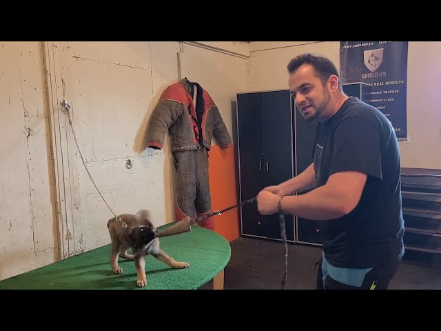 How to start protection training with a German Shepherd puppy