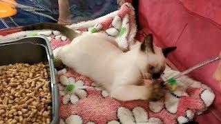 Чем занимался тайский котёнок Немо в палатке на выставке кошек ! Тайские кошки   это чудо! Funny Cat