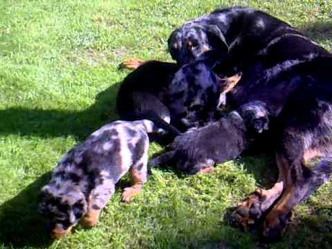 Beauceron Puppies For Sale A Litter Psi Mysteria Czech Republic