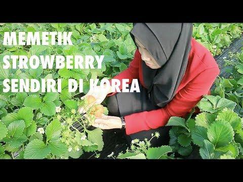 PERKEBUNAN STRAWBERRY DI KOREA