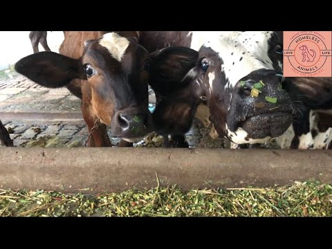 Download Cow videos | Kids cow video with mooing | Funny cow dance | Cow video 2021 | Cute baby cow video