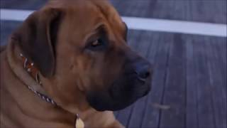 Top TEN MASTIFF Dog Breeds