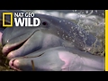 Dolphins Take Hunting to the Next Level | Deep Sea Killers