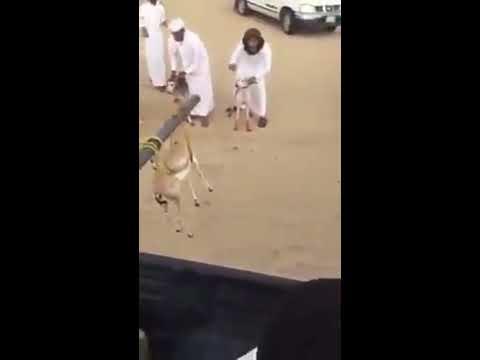 Hunting game of Saudi arabia