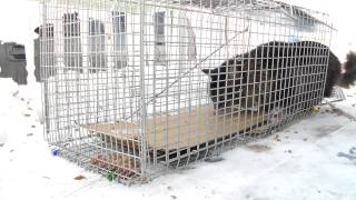 Stray Feral Cat Trapping Trap-Neuter-Return. 2