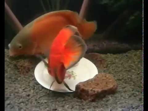 Kỹ thuật nuôi cá tai tượng sinh sản