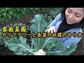 【家庭菜園】カリフラワーと春菊の収穫のやり方を教わるベトナム人ママVlog  How to Harvest Cauliflower and Chrysanthemums