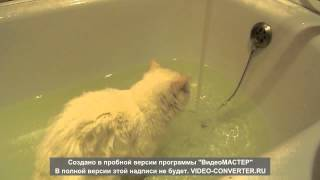 A kitten with varicoloured eyes likes to bath !!! Котенок с разноцветными глазами любит купаться !!!