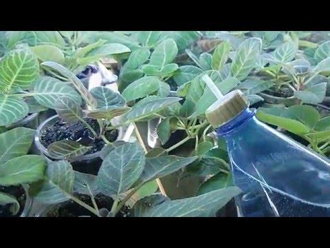 🌼Полив Глоксиний. Как я это делаю. Вода на листьях🌼 🌱How to grow gloxinia part №18