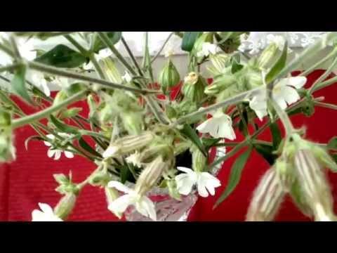 Вопрос: Какую грязь может смыть растение мыльнянка?