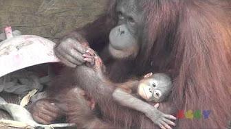 penis de orangutan