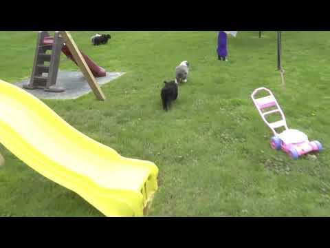 Joseph Miller's Aussiedoodle puppies for sale