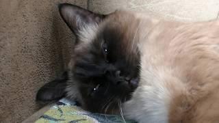 Кошка Тайская. Спящая. (Thai cat. Sleeps.)