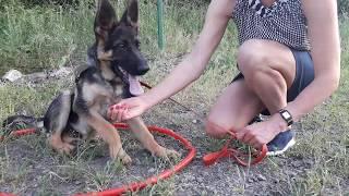 Дрессировка щенка немецкой овчарки и лабрадора. Видео