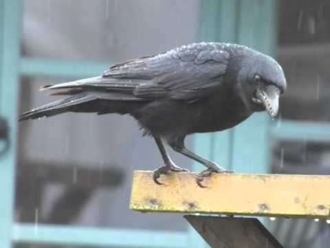 Facts About The Crow