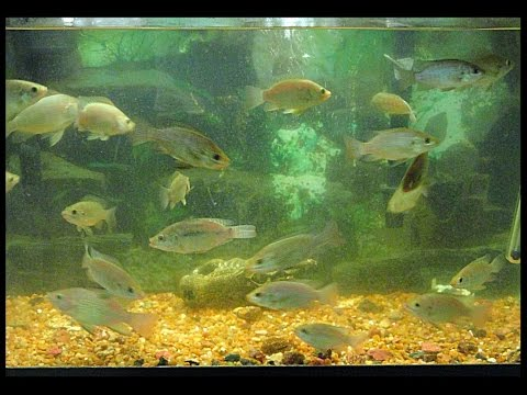 Raising, Sexing, And Breeding Blue Tilapia