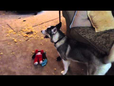 Guilty Husky puppy argues back when confronted