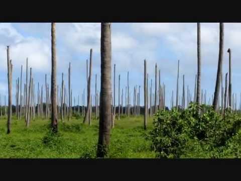Coconut Plantation total destruction in Zambezia Mozambique