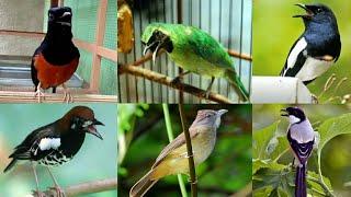 Suara Burung Masteran Ngelagu Gacor #kicaumania #muraibatu #kacer #cucakijo #ciblekdeso