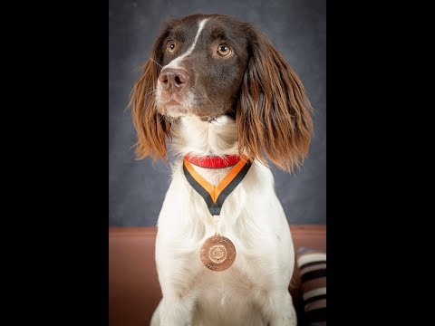 Buddy - Springer Spaniel - 2.5 Week Residential Dog Training