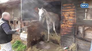 Warning - Distressing footage. RSPCA Arab horse case rescue