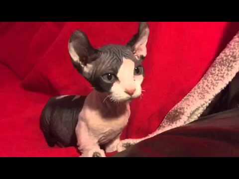 Beautiful and cute Dwelf kitten - 979915 | FunnyCat TV