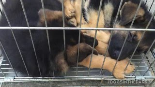 11 dogs rescued from dog meat