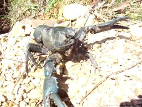 Tasmanian Giant Freshwater Crayfish