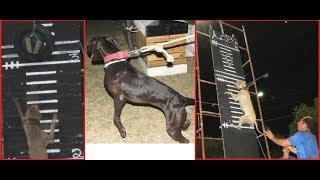 Pit Bull - Game Dog  Pit Gameness 2018 (Escalada Vertical) #apbt #pitbull