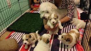 Coton de Tulear Puppies For Sale - Vivian 2/4/21