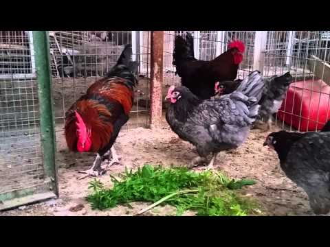 7-months-old-blue-and-black-copper-marans