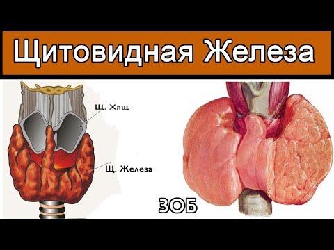 Щитовидка и Янтарь